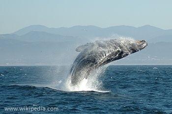 Jumping_Humpback_whale.jpg